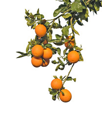 Branches with ripe oranges