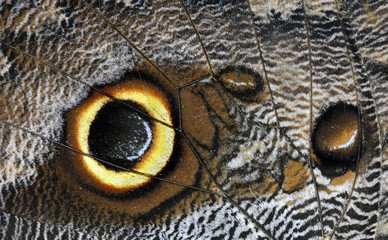 owl butterfly caligo beltrao Wing detail no 2