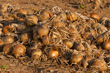 Amas d'oignons mis en andains pour sécher sur la terre.