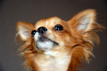 nice red chihuahua puppy portrait