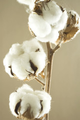 cotton flower detail