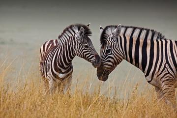 Foto op Plexiglas Afrika Zebre - Madre e figlio