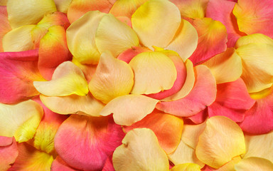 Yellow and pink rose petals