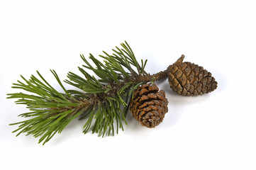 Mugho pine branch and cones