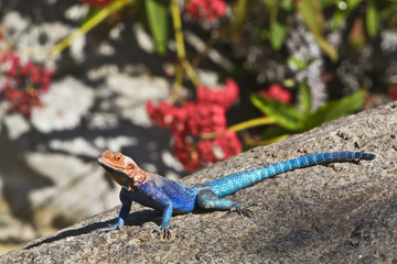 Red-headed Rock Agama on rock