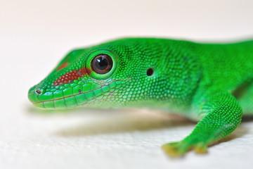 Tête de Gecko.