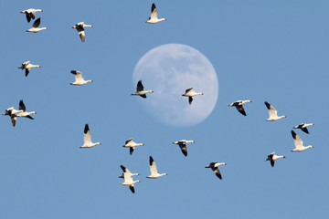 Fotoväggar - Snow Geese With Moon