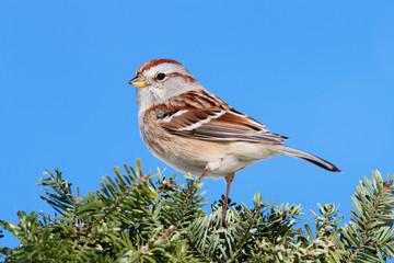 Fotoväggar - American Tree Sparrow