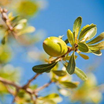 Argan nut eith green leaves on a tree branch and blue sky in the background in northern morocco africa