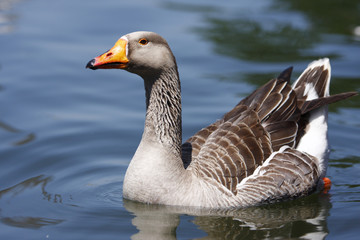 Goose floating on by