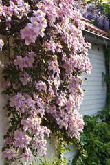 Pink flowering Clematis montana in spring