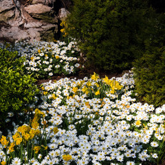 Anemone and daffodils in spring
