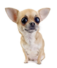 Chihuahua with big eyes portrait isolated