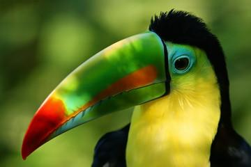 Foto op Plexiglas Toekan Portrait of a Toucan and its colorful beak