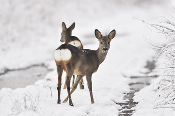 Photo sur Toile Roe Rehe im Winter