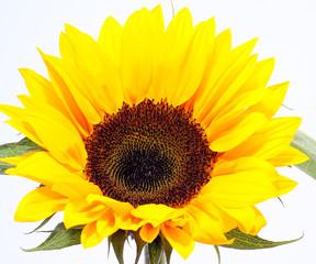 sunflower #5