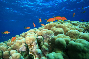 Dome Coral and Lyretail Anthias