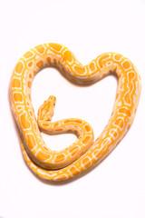 Python albino