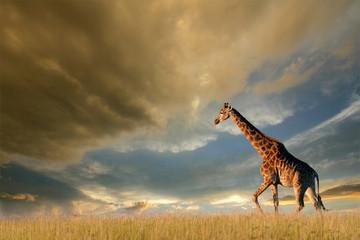 Giraffe on African plains