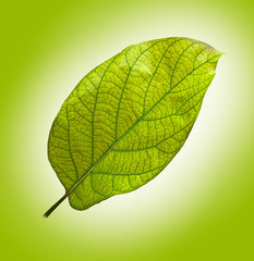 leaf of avocado tree