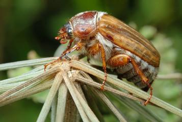 June Beetle (Amphimallon solstitiale) on the plant