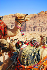 Popular Transportation - camels. Petra. Jordan