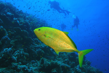 Orangespotted Trevally with Scuba Divers in background