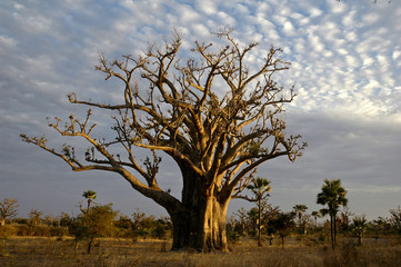Foto op Aluminium Baobab baobab tree (adansonia digitata) the symbol of senegal