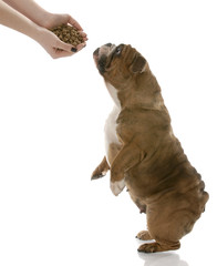 dog reaching up for hand full of dog food