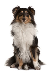 Shetland Sheepdog, sitting in front of white background