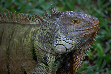 Iguana in Indonesia