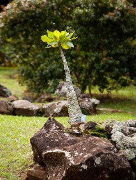 Alula plant in Kauai