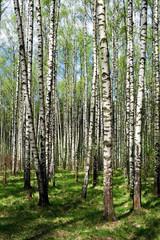 Spoed Foto op Canvas Berkbosje Forest