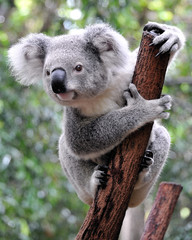 Photo sur Aluminium Koala Curious koala