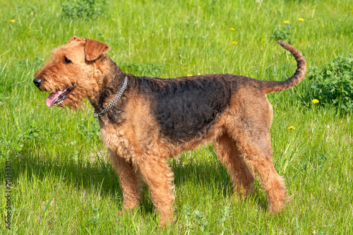 airedale terrier images