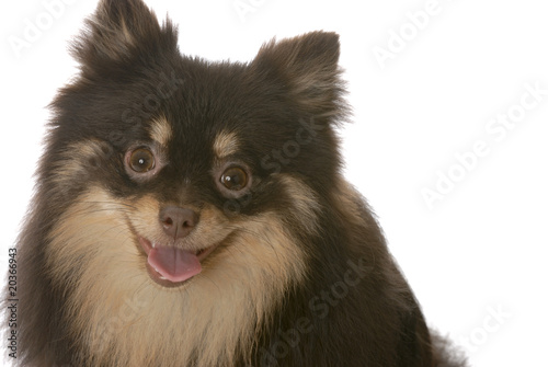 Pomeranian Puppy With Tongue Out Panting On White Stock Photo And