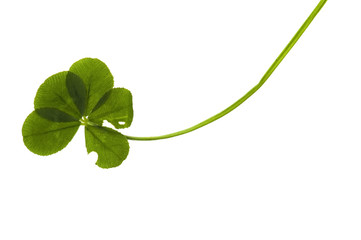 Five Leaf Clover isolated on the white background