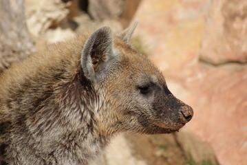 Aluminium Prints Hyena Spotted Hyena