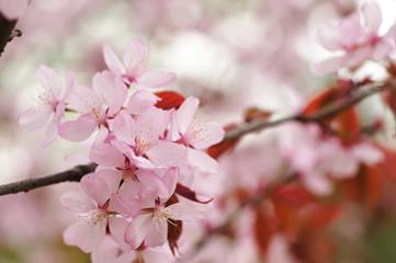 Spring sakura