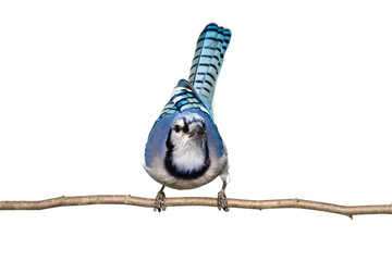 bluejay sitting on branch looking straight ahead