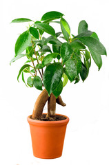 Bonsai Ficus Tree With Water drops isolated