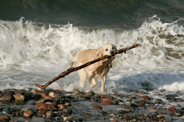 Hund mit riesigen Stock