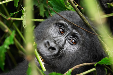 Eastern mountain gorilla in tropical forest of Uganda