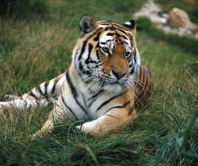 Tiger_115694