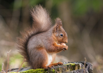 Red Squirrel eating a Hazelnut