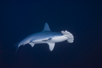 Scalloped hammerhead in deep water