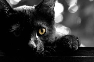 gatto nero occhio giallo
