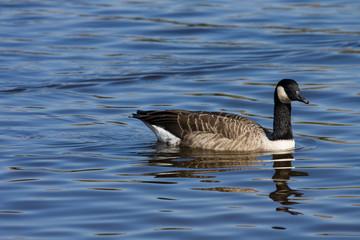 Candadian Goose  (Branta canadensis)