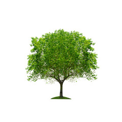 Tree isolated against a white background