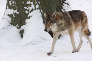 canis lupus wolf